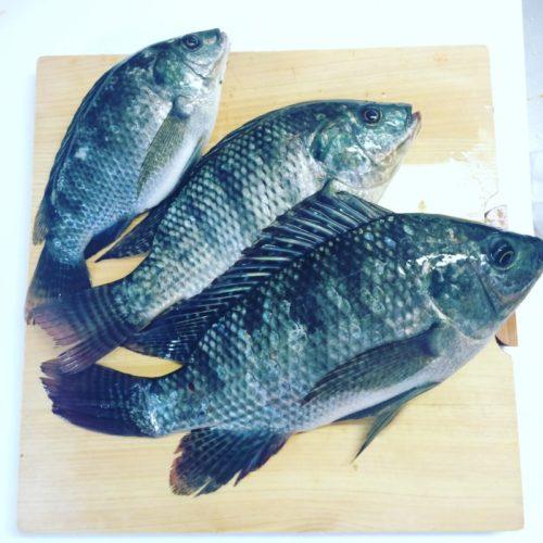 高知県の用水路にいるティラピアを釣って食ってみた